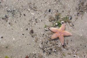 Ein gefundener Seestern im Watt bei Ebbe